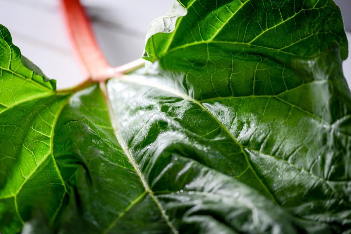 feuilles de rhubarbe