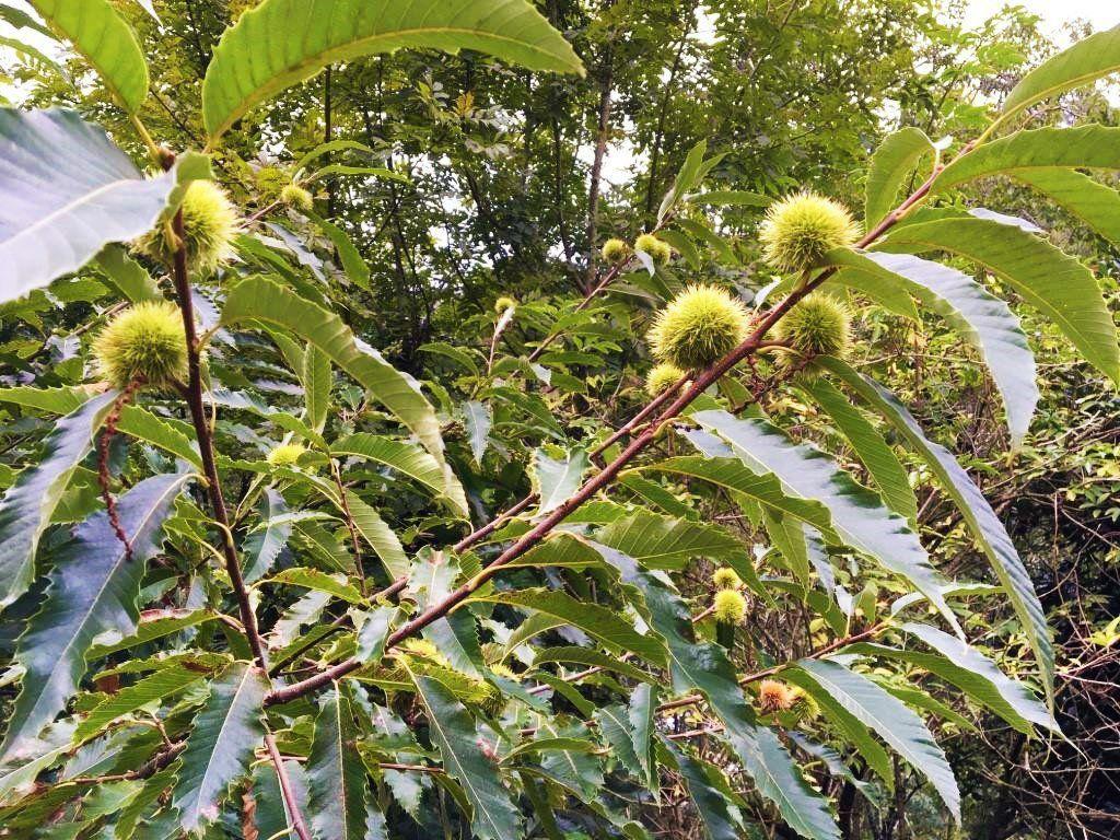 Une branche remplie de châtaignes en forêt - La Cour d'Orgères