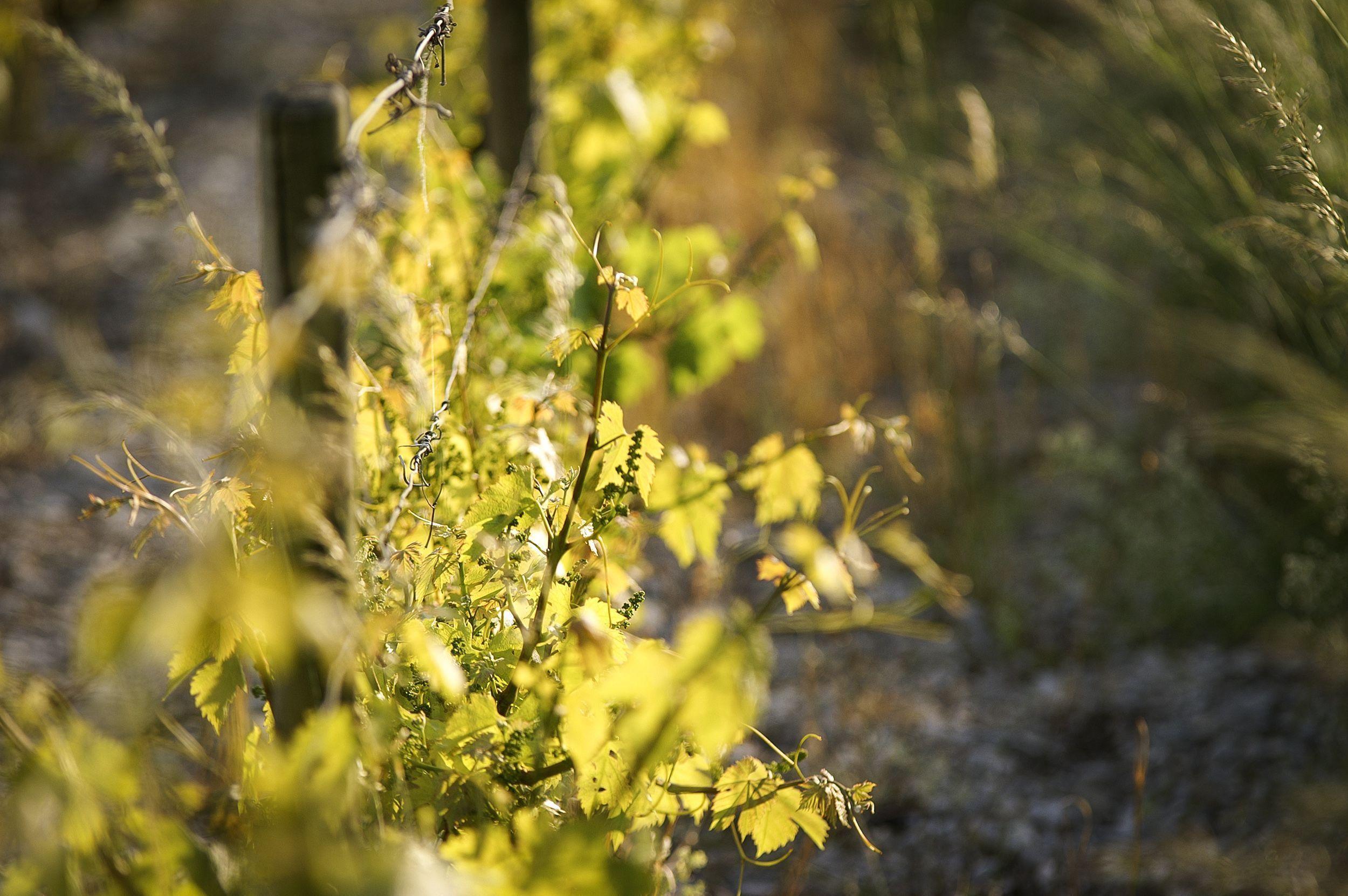 La-vigne-terroir