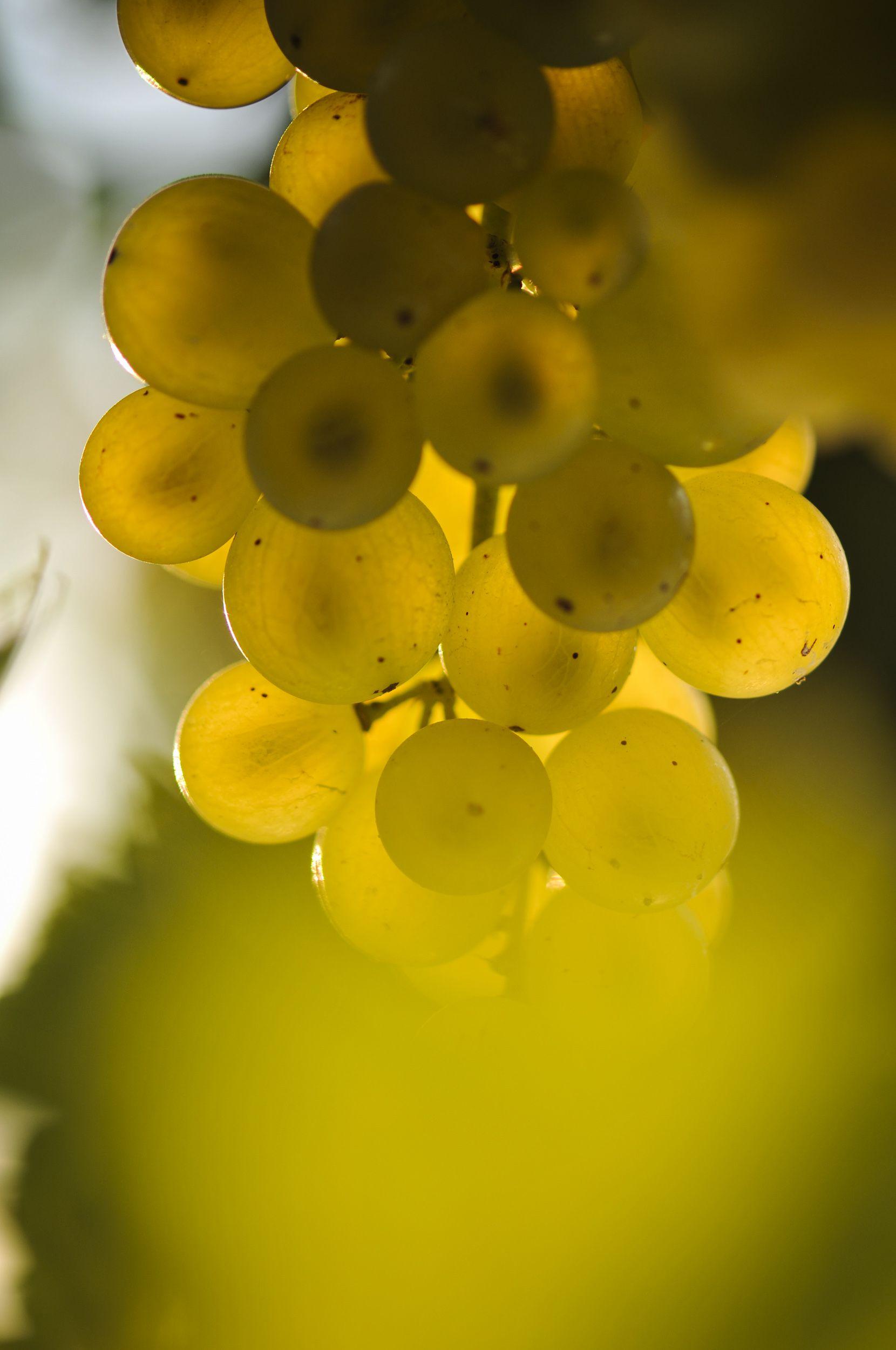 Vigne-un-produit-terroir