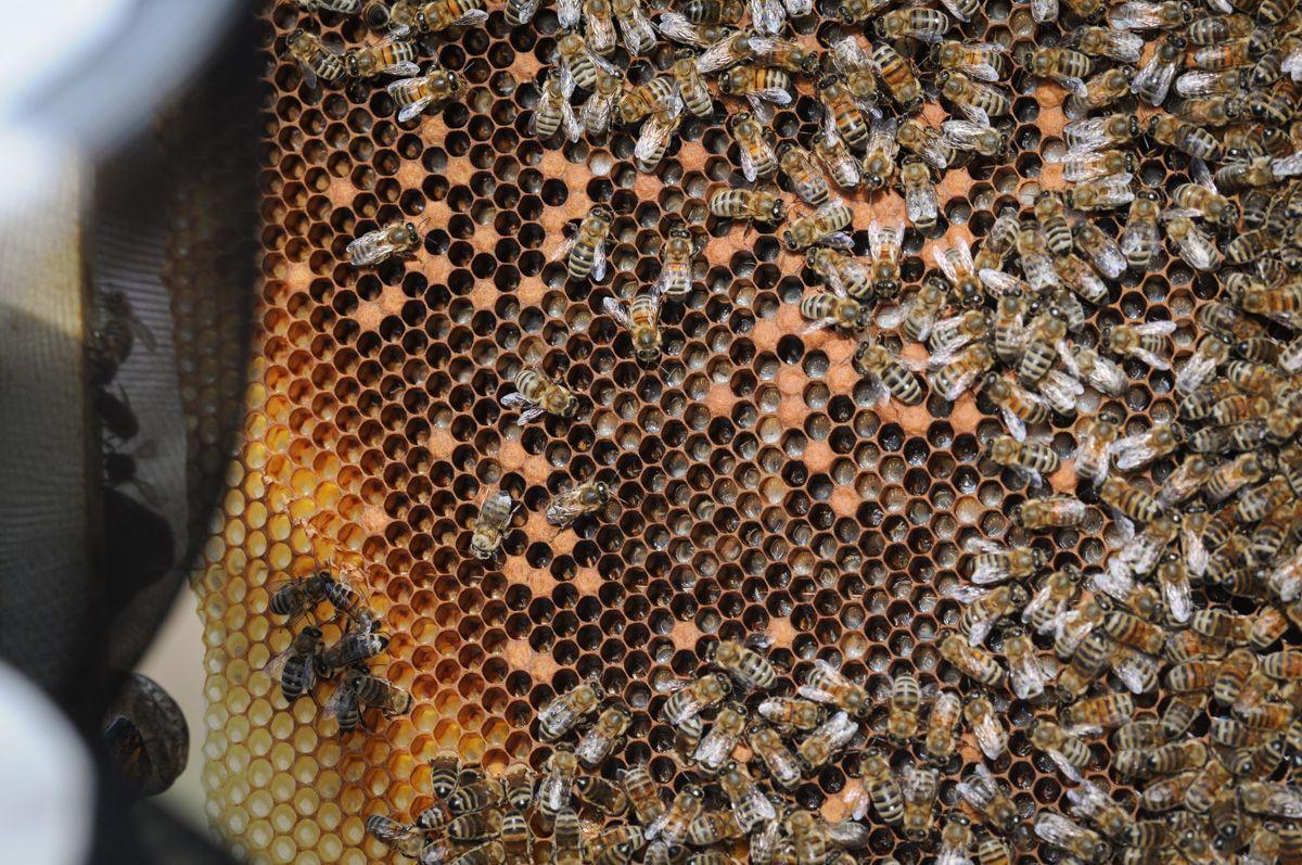 Les alvéoles accueillent également les couvains d'abeilles