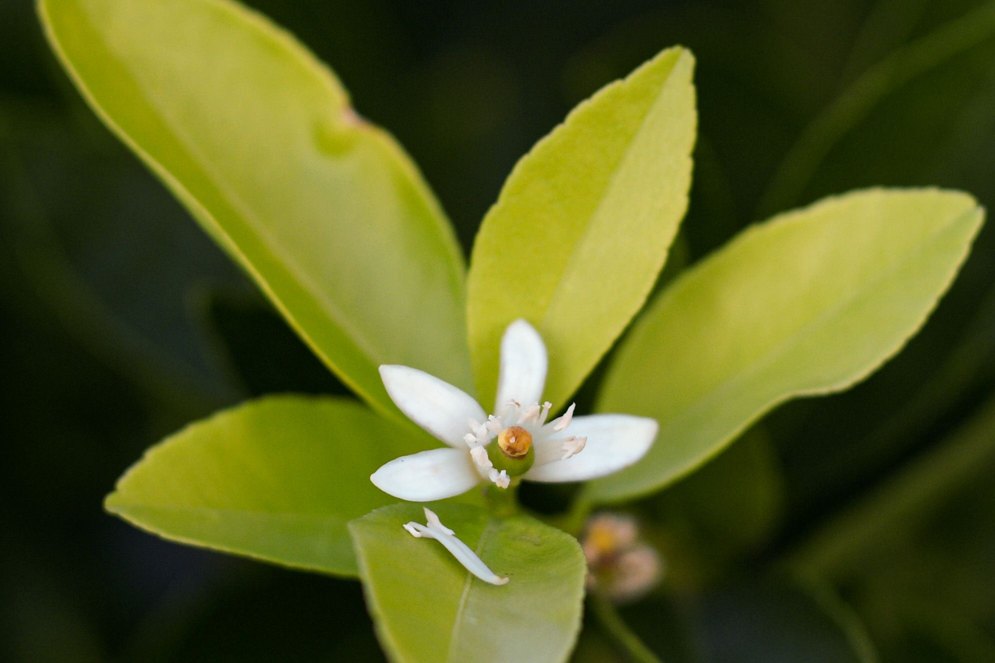 fleur etoilée de pamplemousse