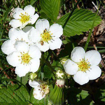 fleur de fraisier blanche