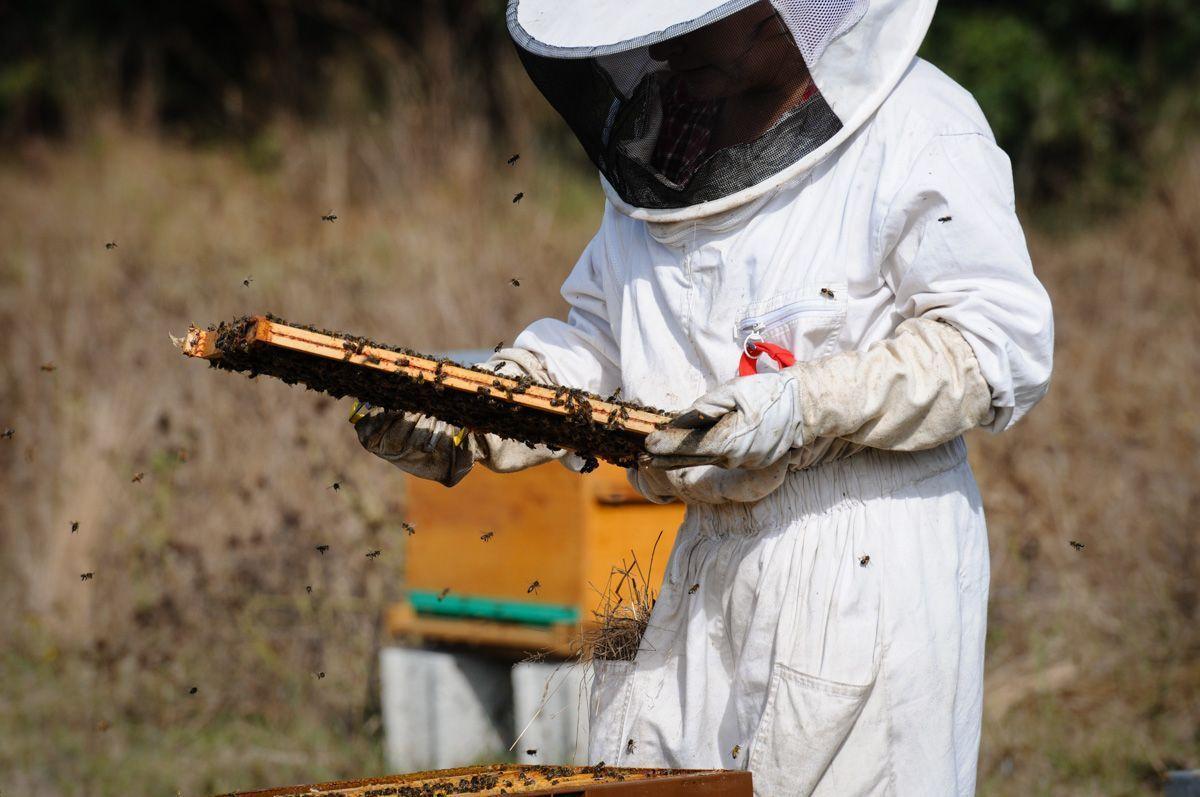 Le vol des abeilles autour de la rûche